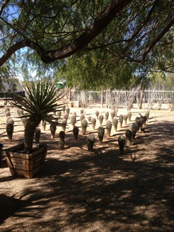 Many Varieties of Cactus available