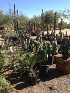 Many Bucket Cactus Available