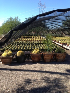 Large Selection of Barrel Cactus