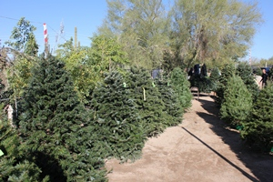 We sell a variety of Christmas Trees from 5-13 Feet Tall