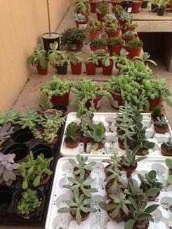 Aloe, Succulents and 5 Gallon Shrubs