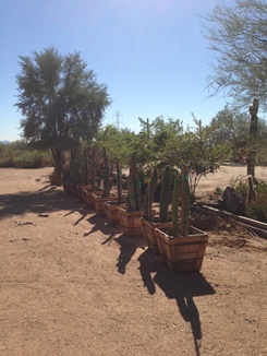 Many Saguaros to choose from