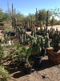 Many Bucket Cactus Available