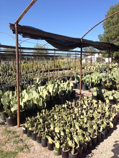 Large Selection of Prickly Pear
