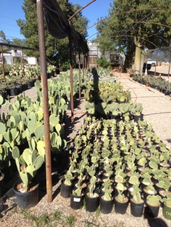 Large Selection of Prickly Pear Cactus