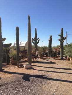Wide Selection of all sizes of Saguaro Cactus available