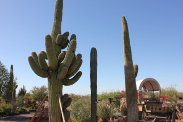 Many Varieties Of Cactus Available Saguaros To Choose From