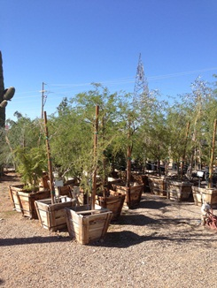 We sell wide range of Box Trees